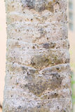 Trunk of a large ravenala. Royalty Free Stock Photos