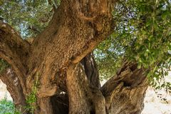 Trunk of a large secular olive tree in Italy, Marche. Details Stock Images
