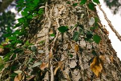The trunk of a larger tree overgrown with ivy. Bottom view stock photo