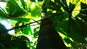 Trunk and leaves of a fan palm at cape tribulation. Trunk and leaves of a fan palm Licuala ramsayi at cape tribulation in nth queensland, australia stock video footage
