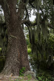 Trunk of live oak tree near a pond Stock Images