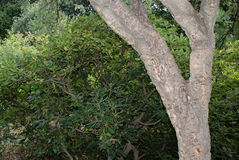 Trunk of a living cork tree Stock Images