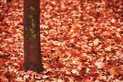 Trunk and maple leaves Royalty Free Stock Photos