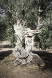 Trunk. Massive trunk of an olive tree in Sardinia Stock Image