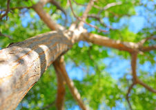 Trunk of a mighty tree and its crown Stock Photography
