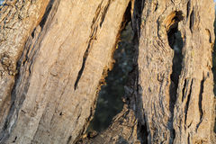 Trunk of the monumental olive tree. Salento - italia Royalty Free Stock Image