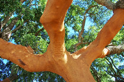 Trunk of oak tree. At Portugal Stock Photo