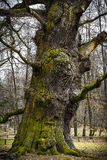 Trunk Of An 1000 Years Old Oak Royalty Free Stock Photos