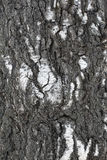 Trunk Of Old Birch Royalty Free Stock Photography