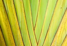 Free Trunk Of Ornamental Banana Stock Photos - 20915493