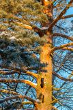 The trunk of an old big pine tree. In the sun stock photo