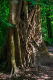 trunk of an old big tree with creepers close-up photo Royalty Free Stock Photography