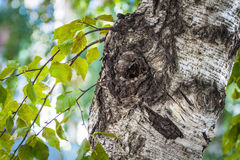 The trunk of an old birch Royalty Free Stock Images