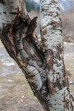 Trunk of an old birch Stock Photos