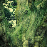 Trunk of old cedar Royalty Free Stock Image