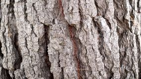 The trunk of an old conifer with cracked bark