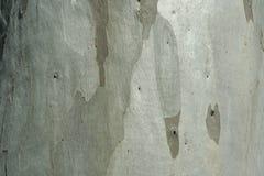 Trunk of an old eucalyptus background. Light gray trunk of an old eucalyptus background Stock Photography
