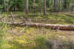 Trunk of an old fallen tree in a pine forest.  royalty free stock photo