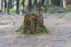 Trunk of old felled tree Royalty Free Stock Photos