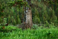 The trunk of an old large pine with branches on the background of the taiga royalty free stock image