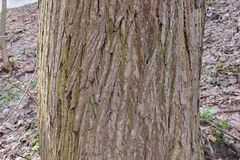 The trunk of an old Linden Royalty Free Stock Image