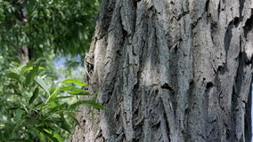 Trunk of an old oak tree stock footage