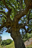 Trunk of old olive tree Stock Image