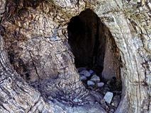 Trunk old olive tree. Hollow with stone in old olive tree trunk royalty free stock photography
