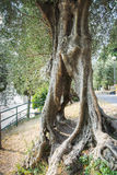Trunk of old olive tree with passage Stock Photo