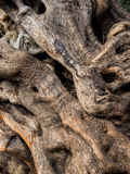 Trunk of an old olive tree Royalty Free Stock Images