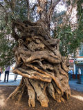 Trunk of an old olive tree. The trunk of a very old olive tree in palma, mallorca, spain Stock Photography