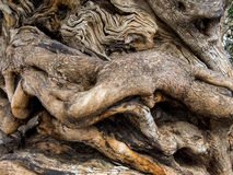 Trunk of an old olive tree. The trunk of a very old olive tree in palma, mallorca, spain Stock Image