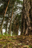 The trunk of an old pine tree bark Stock Photography