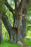 Trunk of an old poplar trees Stock Images