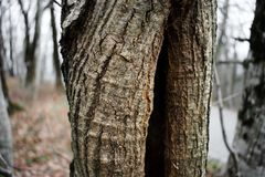 A tree trunk with a deep cleft. The trunk of an old tree with a deep cleft in the trunk. Gray-red bark on the tree shimmers in the sun stock photography