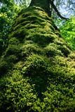 Trunk of an old tree densely covered with moss Stock Images
