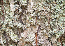 The trunk of an old tree foreground ( background image). Royalty Free Stock Images