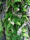 Trunk of old tree with moss Royalty Free Stock Photos