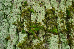 Trunk of old tree with moss Royalty Free Stock Images