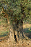 Trunk of an Olive Tree         Royalty Free Stock Photos