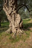 Trunk Olive Tree, Montenegro stock images