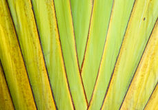 Trunk of ornamental banana Stock Photos