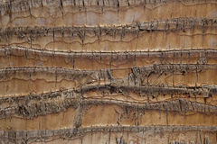 Trunk of the palm. Brown color close-up Stock Photos