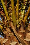 The trunk of a palm tree in close-up. Crète royalty free stock photo