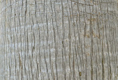 Trunk of a palm tree. Structure of a trunk of a palm tree Royalty Free Stock Photo