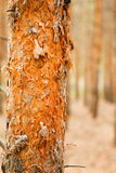Trunk of a pine Stock Photography