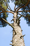 Trunk of pine Royalty Free Stock Images
