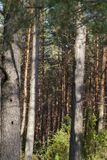 Trunk pine. Brown pine trunks in a summer forest, focus on distant trees, close-up Stock Photo