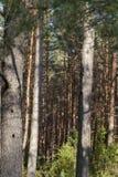 Trunk pine Stock Photo