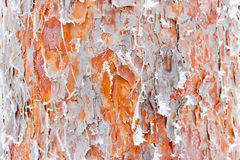 Trunk of a pine covered with frost Stock Photo